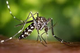 moustique tigre très très méchant
